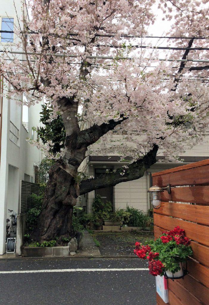桜、桜、桜~